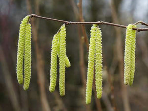 Corylus colurna - Turkish Hazel - Jurassicplants Nurseries