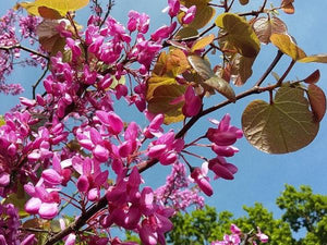 Cercis siliquastrum, Judas Tree, scented, flowering tree, bonsai, plant