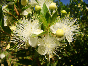 Myrtus communis - Common Myrtle - Jurassicplants Nurseries