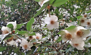 Eucryphia, Brush Bush, scented, tree, patio, bee, plant, garden