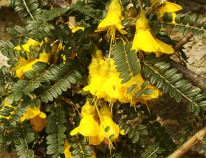 Sophora tetraptera - Larger Leaved Kowhai