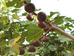 Ficus carica Ice - Fig Tree flat fruited variety - Jurassicplants Nurseries