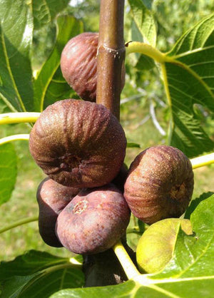 Ficus carica Ice - Fig Tree flat fruited variety