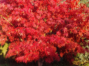 Acer palmatum, Japanese Maple, deciduous, tree, hardy, patio, plant