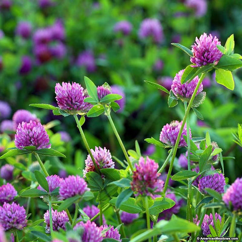 RED CLOVER FOR HORSES