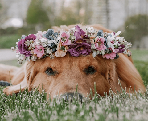 Sad dog flower girl, with headband made of flowers, laying in grass