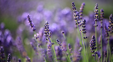 Lavender on My Mind
