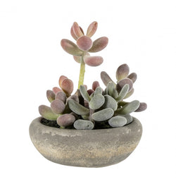 Graptoveria with cement bowl