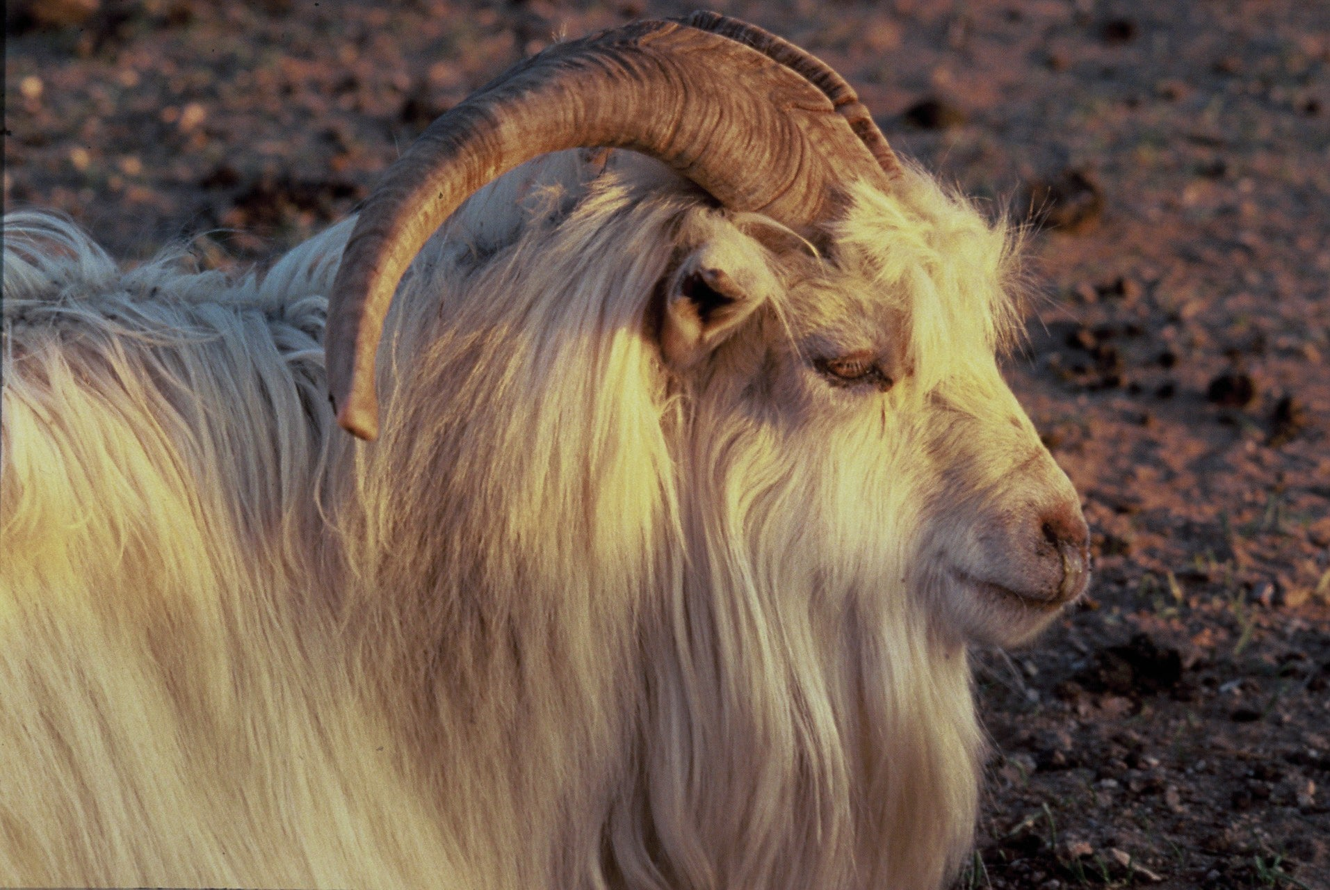 The Highland Goat. A source of Scottish Knitwear