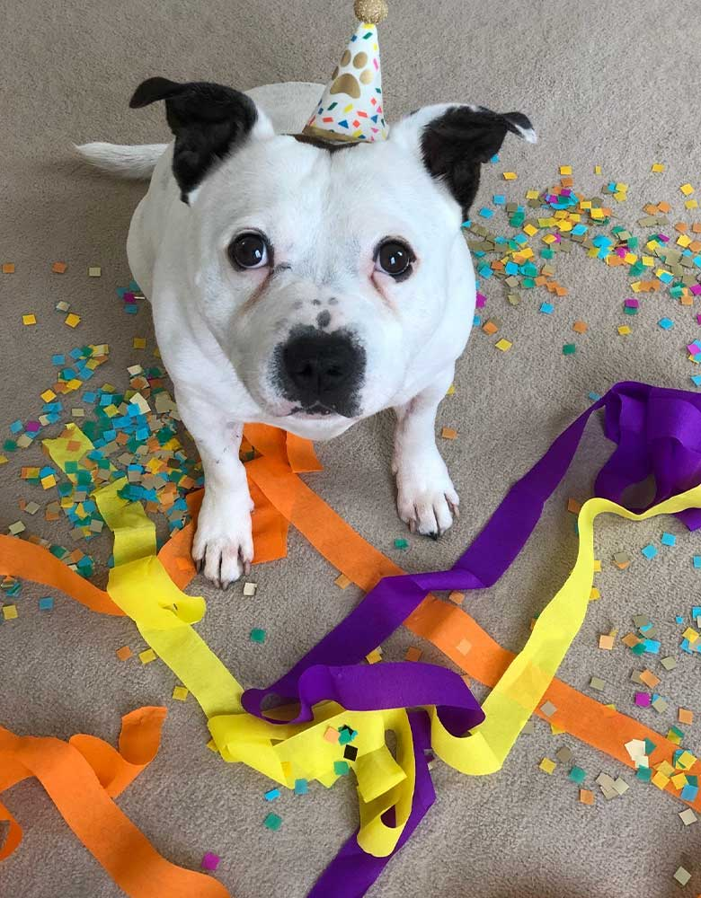 A bulldog wearing Talking Table's Pawty Party Mini Pet Hat in a birthday party for dogs