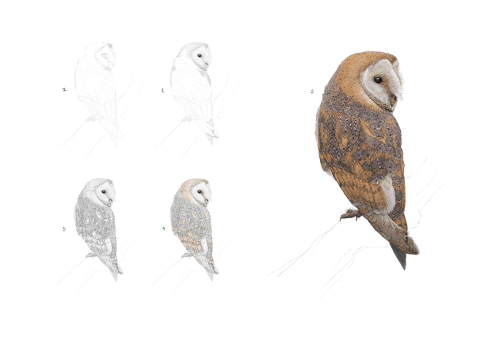 Draw a Barn Owl