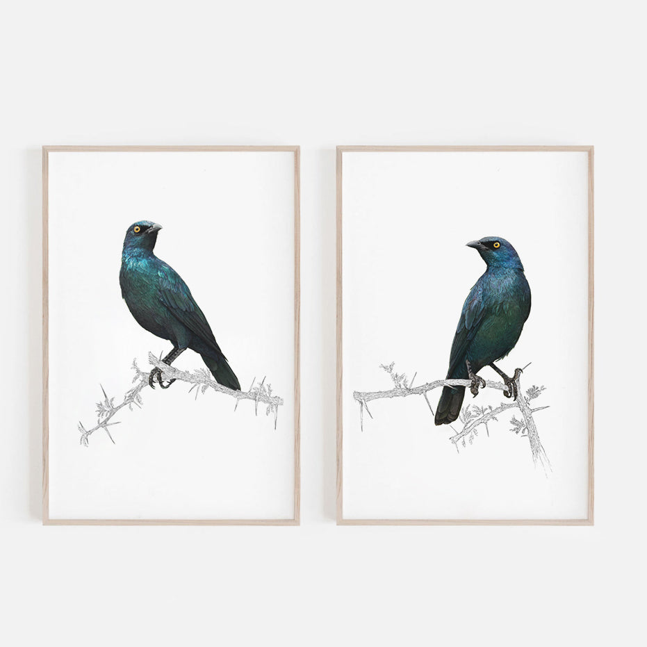 Cape Glossy Starling 1