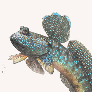 Great Blue Spotted Mudskipper