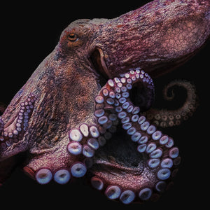 Octopus, Black edition.