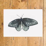 Queen Alexandria's Birdwing Butterfly