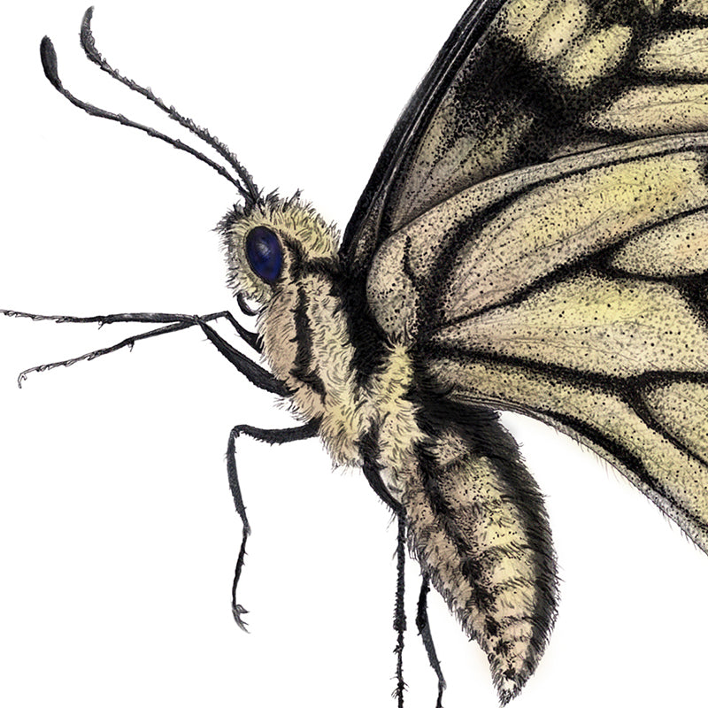 Swallow Tail Portrait