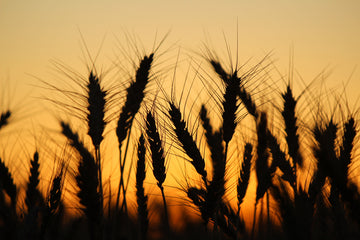 Wheat crop silhouette at sunset