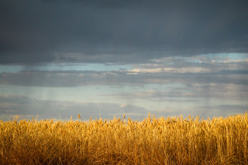 Wheat crop stormy backdrop