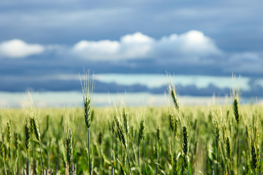 Wheat crop with clouds in background