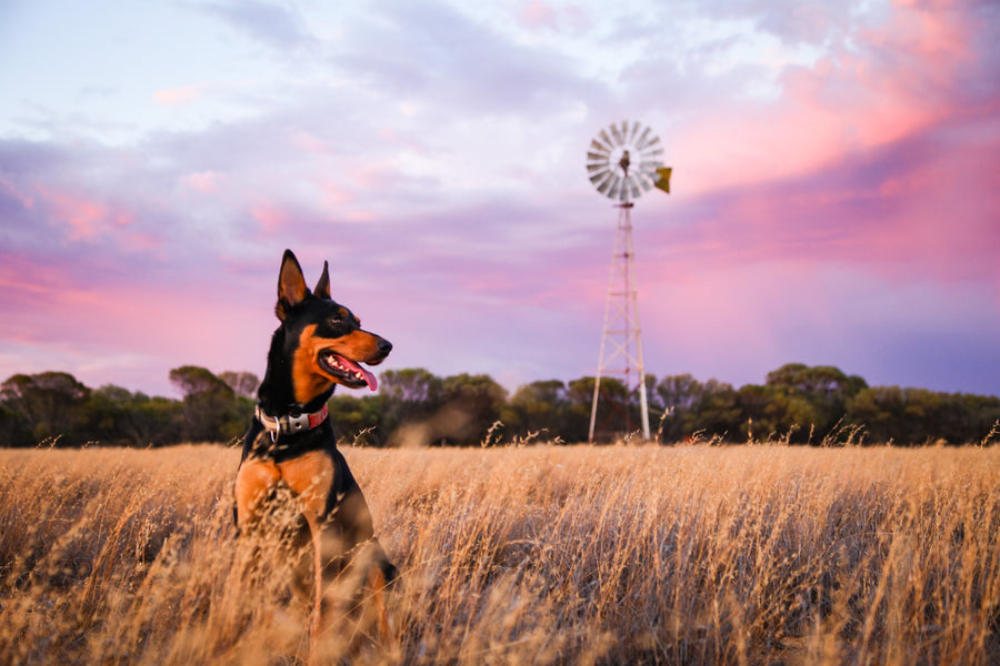 Sunset with windmill and kelpie