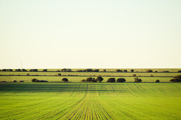 Wheat crop rows