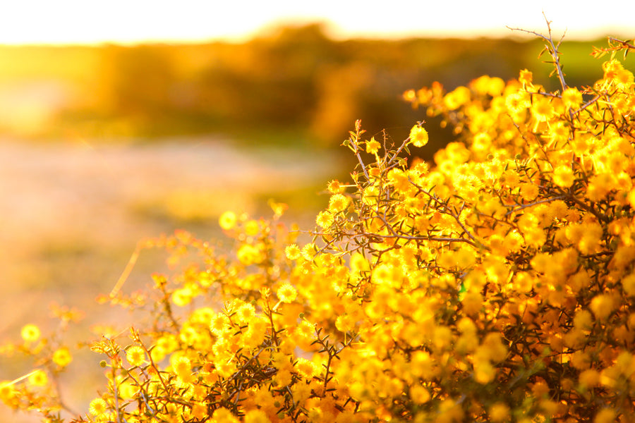 Wattle at golden hour