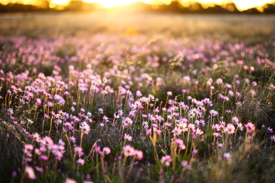 Pink wildflowers at golden hour