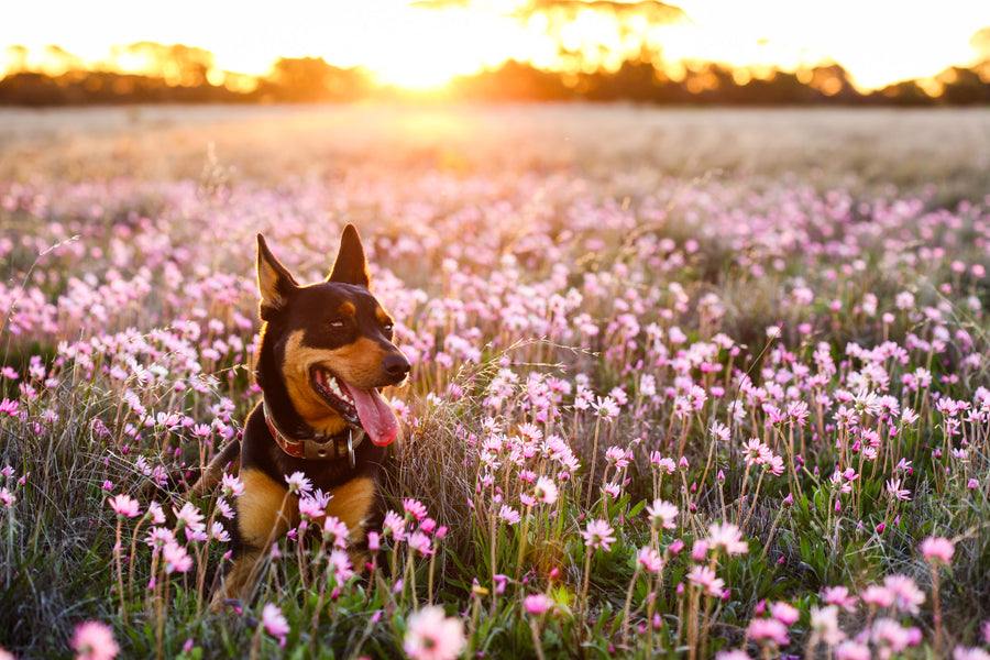 Kelpie amongst pink wildflowers