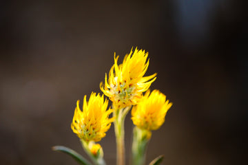 yellow wildflowers at golden hour