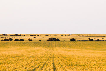 Wheat crop rows golden hour