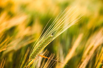 Barley crop at golden hour