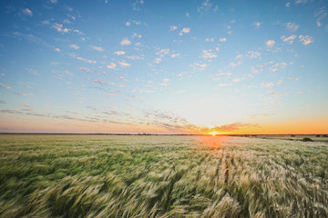 Sunset over barley crop