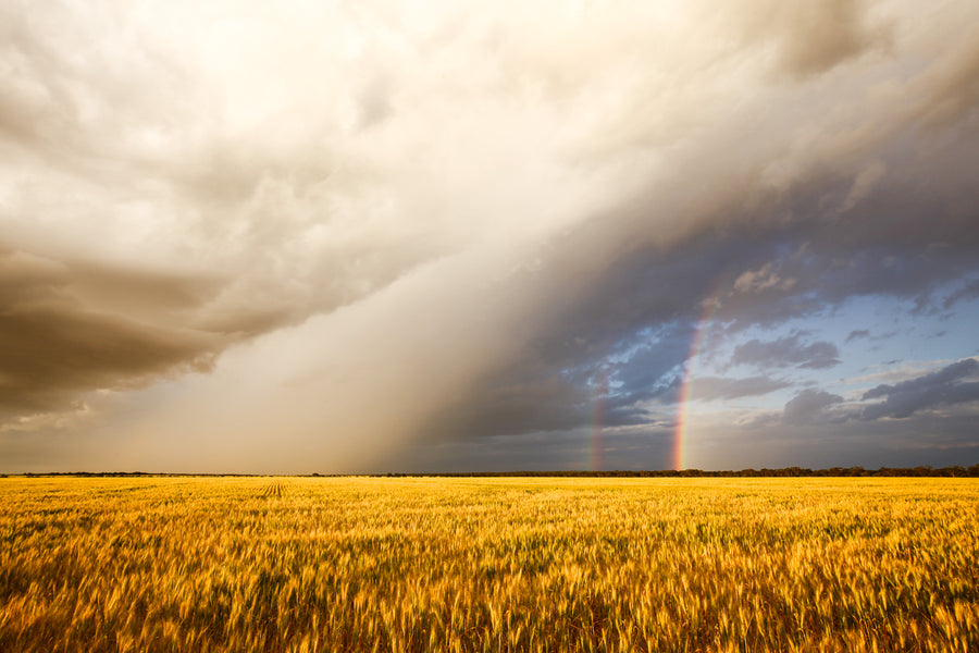Storm and rainbow over wheat crop