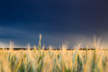 Wheat crop with storm in background