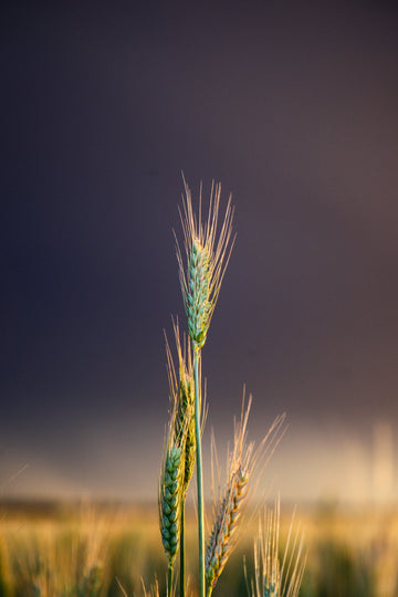 Wheat with storm in background