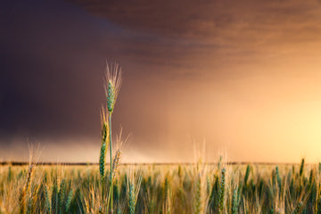 Wheat crop and storm sunset