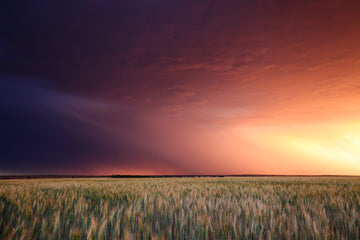Storm sunset over wheat crop