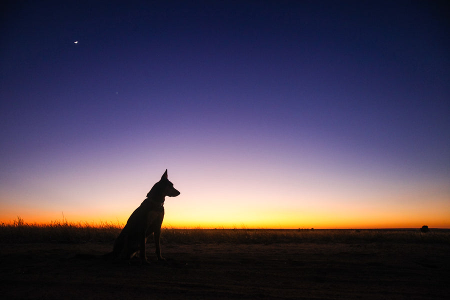 Kelpie watching sunrise