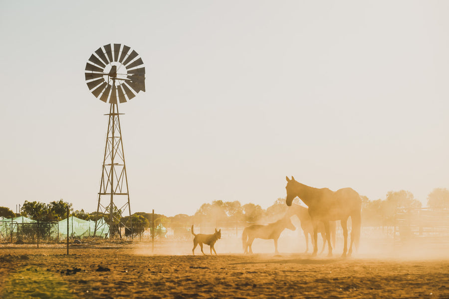 Horses at golden hour dust windmill