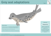 Seal Adaptations Activity