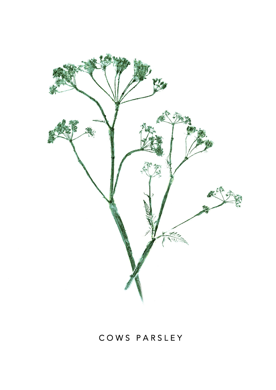 Cows Parsley Print | Green