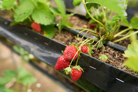 planting Strawberry in a raised bed garden