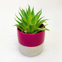 Mini cactus in a hand painted magenta concrete pot by cactus joe