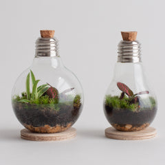 two wild bulb terrariums side by side using up-cycled light bulbs with cork stoppers