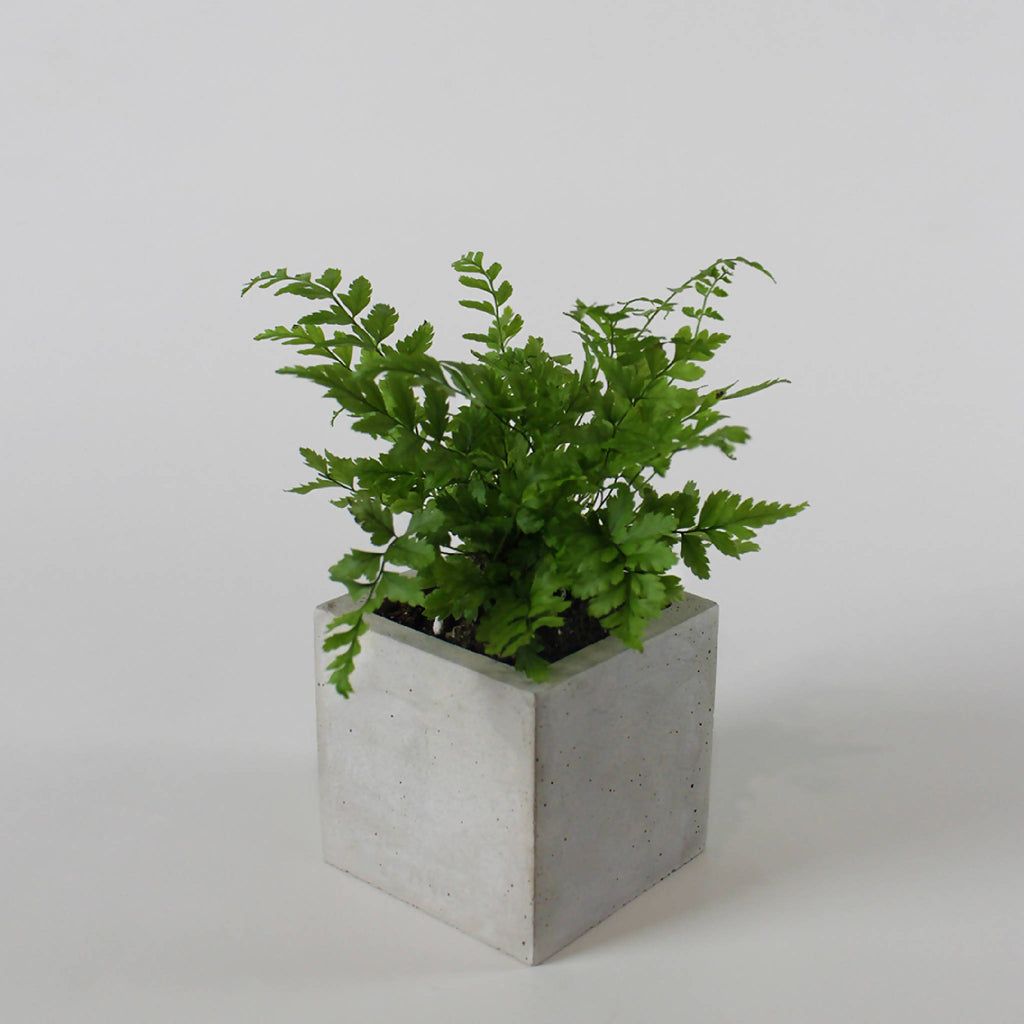 Korean Rock Fern & Concrete Pot - Polystichum Tsus Simense