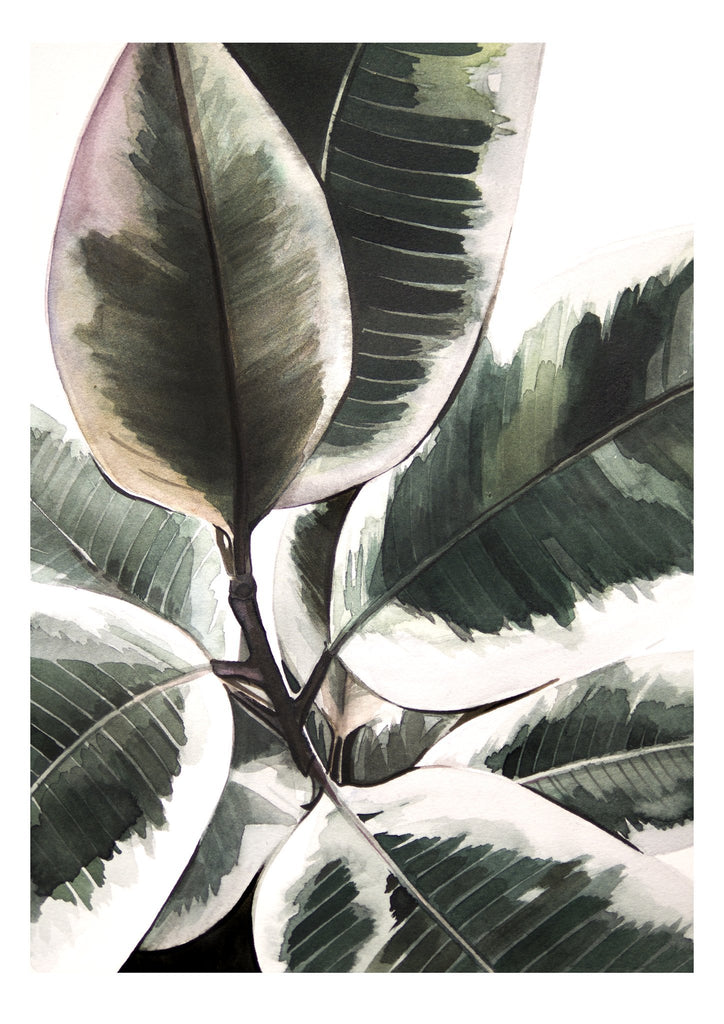 watercolour drawing of ficus elastica variegata