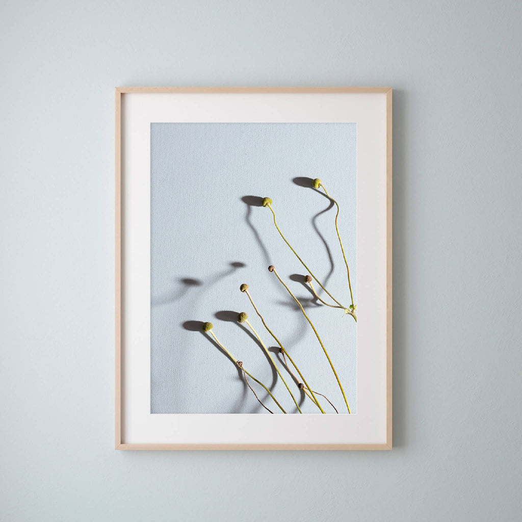 Framed botanical photograph of Japanese Anenome seedheads on blue background by UK artist Emma Robinson