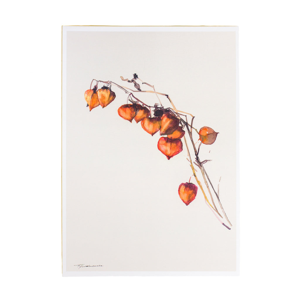 watercolour drawing of physalis