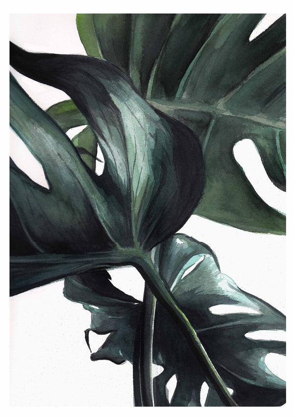 watercolour drawing of monstera deliciosa