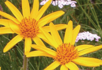 Ingredient - Arnica